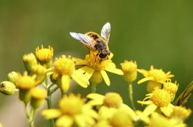 Bee-gathering_pollen_yellow-flower-macro