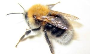 tree bumblebee