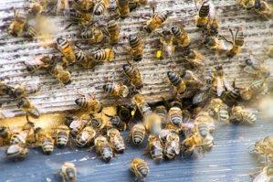 adams bees