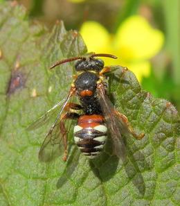 Tormentil Nomad Bee