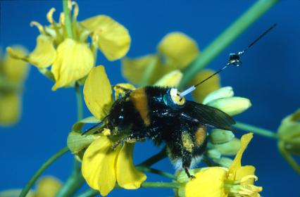 bumblebee with transponder