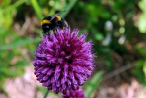 A bee on an allium flower