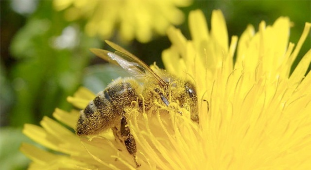 Honeybees' buzzing can shed light on Queen's fertility, study finds