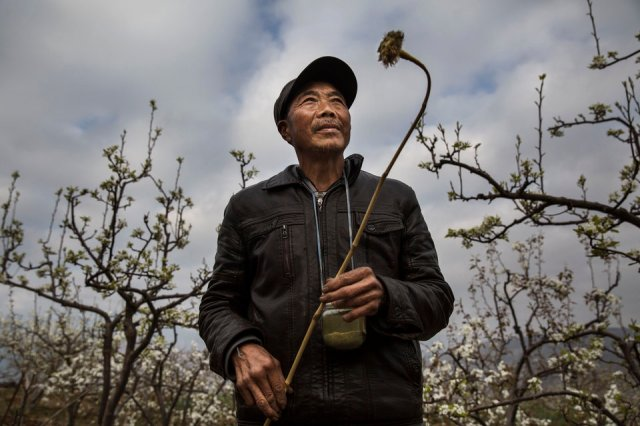HANYUAN, CHINA -MARCH 25: Chinese farmer He Guolin, 53, holds a stick with chicken feathers used to hand pollinate flowers on a pear tree on March 25, 2016 in Hanyuan County, Sichuan province, China. Heavy pesticide use on fruit trees in the area caused a severe decline in wild bee populations, and trees are now pollinated by hand in order to produce better fruit. Farmers pollinate the pear blossom individually. Hanyuan County describes itself as the 'world's pear capital', but the long-term viability of hand pollination is being challenged by rising labor costs and declining fruit yields. A recent United Nations biodiversity report warned that populations of bees, butterflies, and other pollinating species could face extinction due to habitat loss, pollution, pesticides, and climate change. It noted that animal pollination is responsible for 5-8% of global agricultural production, meaning declines pose potential risks to the world's major crops and food supply.  (Photo by Kevin Frayer/Getty Images)