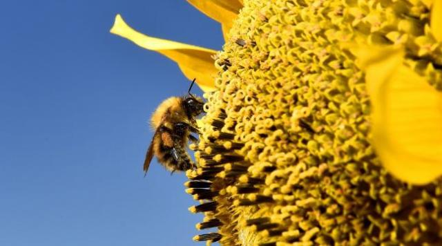 bees-dont-slack-on-the-job-even-when-they-are-ill