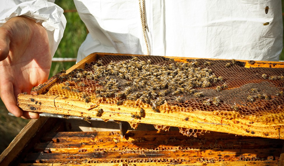 bees-producing-honey-1