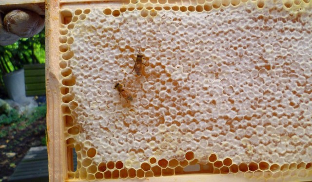 honey-producing