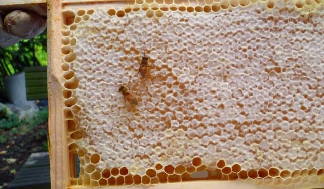honey-producing