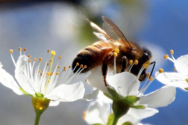 bee-blossom